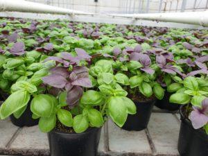 mehrere Kräuter und Gemüse Topfpflanzen